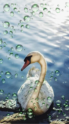 Download Swans - livewallpaper for Android. Swans apk - free download.