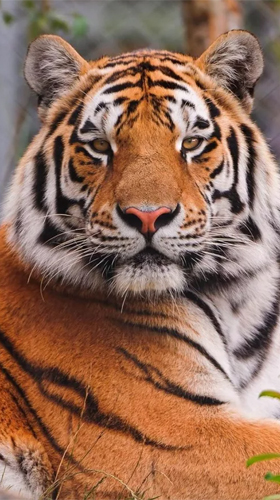 Tiger By Creative Factory Wallpapers Live Wallpaper For Android Free Download Tablet And Phone