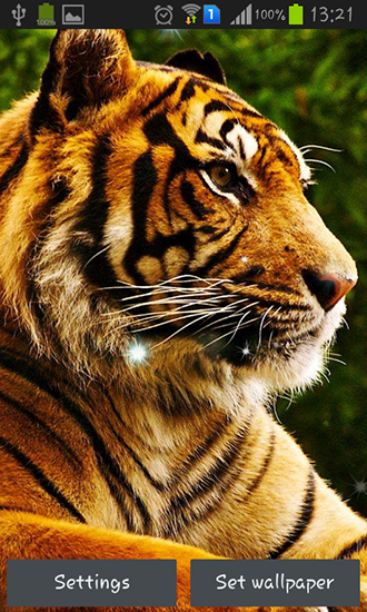 Tigers Live Wallpaper For Android Free Download Tablet And Phone