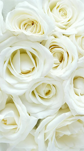 Descargar White Rose By Hq Awesome Live Wallpaper Para Android