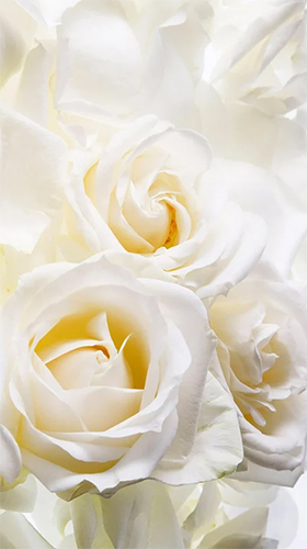 White rose by HQ Awesome Live Wallpaper für Android spielen. Live Wallpaper Weiße Rose kostenloser Download.