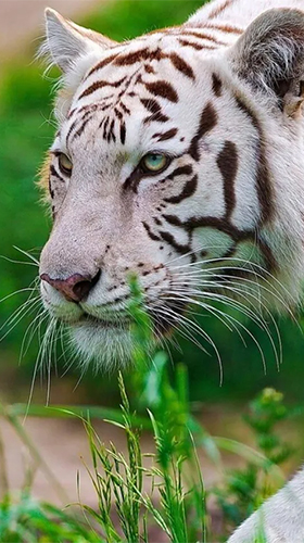 Screenshots of the White tiger by Revenge Solution for Android tablet, phone.