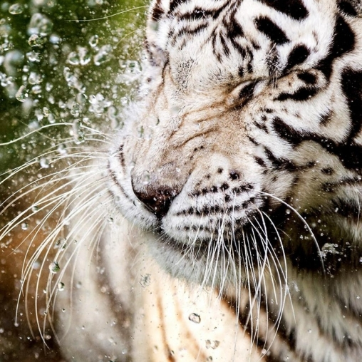 Descargar White Tiger: Water Touch Para Android Gratis. El