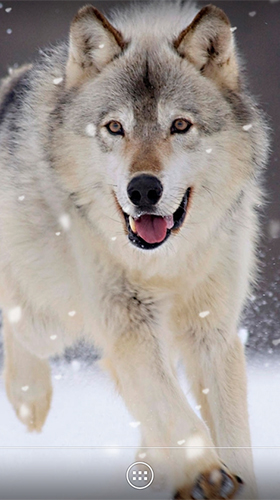 Wolf By Orchid Für Android Kostenlos Herunterladen Live Wallpaper