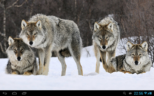 Download livewallpaper Wolves for Android. Get full version of Android apk livewallpaper Wolves for tablet and phone.