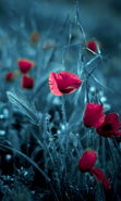Download free mobile wallpaper 15407: Art photo, Flowers, Poppies, Plants for phone or tab. Download images, backgrounds and wallpapers for mobile phone for free.