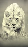 Download free mobile wallpaper 15807: Art photo, Lions, Animals for phone or tab. Download images, backgrounds and wallpapers for mobile phone for free.