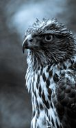 Download free mobile wallpaper 15169: Art photo, Falcons, Birds, Animals for phone or tab. Download images, backgrounds and wallpapers for mobile phone for free.