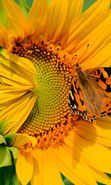 Download free mobile wallpaper 21659: Butterflies, Flowers, Insects, Sunflowers, Plants for phone or tab. Download images, backgrounds and wallpapers for mobile phone for free.