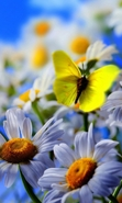 Download free mobile wallpaper 49116: Butterflies,Flowers,Insects,Plants,Camomile for phone or tab. Download images, backgrounds and wallpapers for mobile phone for free.