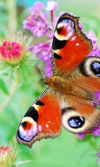 Download free mobile wallpaper 35190: Butterflies,Insects for phone or tab. Download images, backgrounds and wallpapers for mobile phone for free.