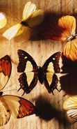 Download free mobile wallpaper 35889: Butterflies,Insects for phone or tab. Download images, backgrounds and wallpapers for mobile phone for free.