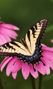 Download free mobile wallpaper 45289: Butterflies,Insects for phone or tab. Download images, backgrounds and wallpapers for mobile phone for free.