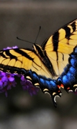 Download free mobile wallpaper 48502: Butterflies,Insects for phone or tab. Download images, backgrounds and wallpapers for mobile phone for free.