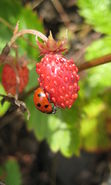 Download free mobile wallpaper 12294: Plants, Strawberry, Insects, Ladybugs, Berries for phone or tab. Download images, backgrounds and wallpapers for mobile phone for free.