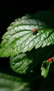 Download free mobile wallpaper 2361: Insects, Leaves, Ladybugs for phone or tab. Download images, backgrounds and wallpapers for mobile phone for free.
