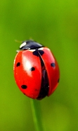 Download free mobile wallpaper 30136: Ladybugs,Insects for phone or tab. Download images, backgrounds and wallpapers for mobile phone for free.