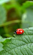 Download free mobile wallpaper 30457: Ladybugs,Insects for phone or tab. Download images, backgrounds and wallpapers for mobile phone for free.