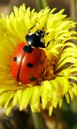 Download free mobile wallpaper 30582: Ladybugs,Insects for phone or tab. Download images, backgrounds and wallpapers for mobile phone for free.