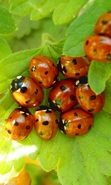 Download free mobile wallpaper 30690: Ladybugs,Insects for phone or tab. Download images, backgrounds and wallpapers for mobile phone for free.