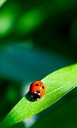 Download free mobile wallpaper 32083: Ladybugs,Insects for phone or tab. Download images, backgrounds and wallpapers for mobile phone for free.