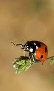 Download free mobile wallpaper 32751: Ladybugs,Insects for phone or tab. Download images, backgrounds and wallpapers for mobile phone for free.