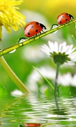Download free mobile wallpaper 33514: Ladybugs,Insects for phone or tab. Download images, backgrounds and wallpapers for mobile phone for free.