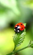 Download free mobile wallpaper 34764: Ladybugs,Insects for phone or tab. Download images, backgrounds and wallpapers for mobile phone for free.