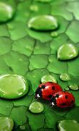 Download free mobile wallpaper 34901: Ladybugs,Insects for phone or tab. Download images, backgrounds and wallpapers for mobile phone for free.