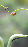 Download free mobile wallpaper 36667: Ladybugs,Insects for phone or tab. Download images, backgrounds and wallpapers for mobile phone for free.