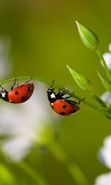 Download free mobile wallpaper 44113: Ladybugs,Insects for phone or tab. Download images, backgrounds and wallpapers for mobile phone for free.