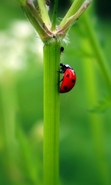 Download free mobile wallpaper 48439: Ladybugs,Insects for phone or tab. Download images, backgrounds and wallpapers for mobile phone for free.