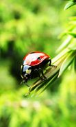 Download free mobile wallpaper 7314: Nature, Insects, Ladybugs for phone or tab. Download images, backgrounds and wallpapers for mobile phone for free.