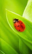 Download free mobile wallpaper 12420: Ladybugs, Insects, Grass for phone or tab. Download images, backgrounds and wallpapers for mobile phone for free.