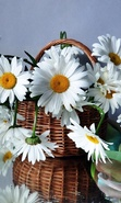 Download free mobile wallpaper 29309: Bouquets,Flowers,Plants,Camomile for phone or tab. Download images, backgrounds and wallpapers for mobile phone for free.