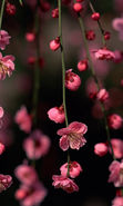 Download free mobile wallpaper 21662: Flowers, Trees, Plants, Sakura for phone or tab. Download images, backgrounds and wallpapers for mobile phone for free.