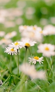 Download free mobile wallpaper 45272: Flowers,Eiffel Tower,Landscape,Plants,Camomile for phone or tab. Download images, backgrounds and wallpapers for mobile phone for free.