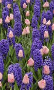 Download free mobile wallpaper 8495: Plants, Flowers, Backgrounds, Tulips, Hyacinth for phone or tab. Download images, backgrounds and wallpapers for mobile phone for free.
