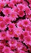 Download free mobile wallpaper 1587: Plants, Flowers, Backgrounds, Chrysanthemum for phone or tab. Download images, backgrounds and wallpapers for mobile phone for free.