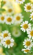 Download free mobile wallpaper 2941: Plants, Flowers, Backgrounds, Camomile for phone or tab. Download images, backgrounds and wallpapers for mobile phone for free.