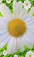 Download free mobile wallpaper 29883: Flowers,Background,Plants,Camomile for phone or tab. Download images, backgrounds and wallpapers for mobile phone for free.