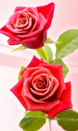 Download free mobile wallpaper 34463: Flowers,Background,Plants,Roses for phone or tab. Download images, backgrounds and wallpapers for mobile phone for free.