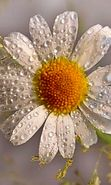 Download free mobile wallpaper 28359: Flowers, Drops, Plants, Camomile for phone or tab. Download images, backgrounds and wallpapers for mobile phone for free.