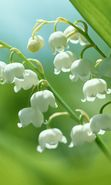 Download free mobile wallpaper 4903: Plants, Flowers, Lily of the valley for phone or tab. Download images, backgrounds and wallpapers for mobile phone for free.