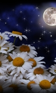 Download free mobile wallpaper 44730: Flowers,Moon,Plants,Camomile for phone or tab. Download images, backgrounds and wallpapers for mobile phone for free.