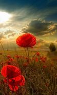 Download free mobile wallpaper 21044: Flowers, Poppies, Clouds, Landscape, Fields, Sun for phone or tab. Download images, backgrounds and wallpapers for mobile phone for free.