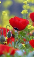 Download free mobile wallpaper 31564: Flowers,Poppies,Plants for phone or tab. Download images, backgrounds and wallpapers for mobile phone for free.