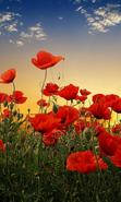 Download free mobile wallpaper 40508: Flowers,Poppies,Plants for phone or tab. Download images, backgrounds and wallpapers for mobile phone for free.