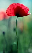 Download free mobile wallpaper 44129: Flowers,Poppies,Plants for phone or tab. Download images, backgrounds and wallpapers for mobile phone for free.