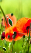Download free mobile wallpaper 45017: Flowers,Poppies,Plants for phone or tab. Download images, backgrounds and wallpapers for mobile phone for free.